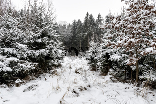 Forest and trees with snow in winter and blanket of clouds