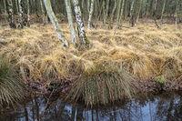 Totes Moor - Birkenwald mit Gräsern, Deutschland