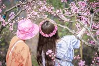 Two chinese girls taking selfies among peach blossom trees
