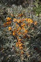 Sanddorn (Hippophae rhamnoides), auch Fasanbeere, Haffdorn, Seedorn