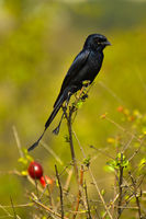Greater Racket-tailed Drongo, Dicrurus paradiseus, Pune, Maharashtra, India