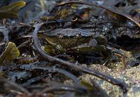 Europäische Grüne Krabbe (Carcinus maenas)
