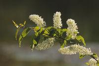 Gewoehnliche Traubenkirsche (Prunus padus)
