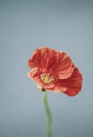 close up of one redTropaeolum majus flower