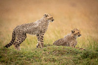Cheetah cub stands by another looking right