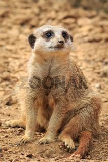 Meerkat (Surikate)