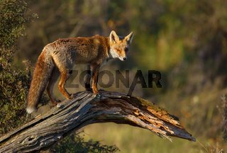 Young red fox standing on a fallen tree.