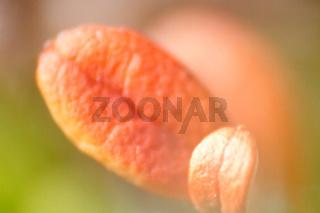 foxberry (Arctostaphylos)