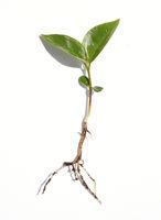 Kirschlorbeer, Sproessling, Lorbeerkirsche, Prunus, laurocerasus