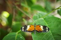 Heliconius melpomene Rückenansicht_Postman Butterfly
