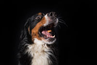 Bernese mountain dog on black background