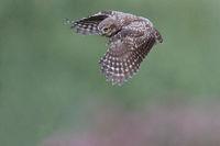 Fliegender Steinkauz