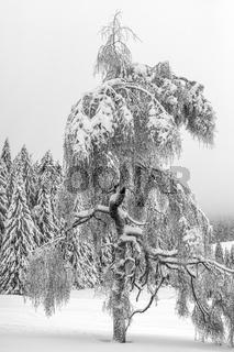 Der Schneebaum