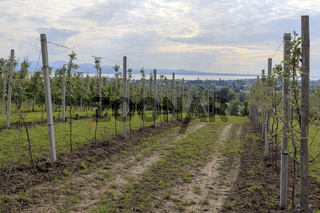 Spalierobst am Bodensee, Landschaftsbild