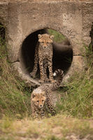 Cheetah cub standing in pipe watching another