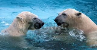 Two polar bears playing in water