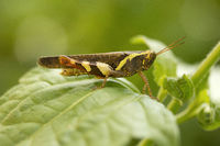 Grasshopper, Jampue hills, Tripura , India