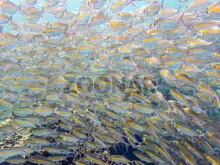 Underwater photos of sea fish herd