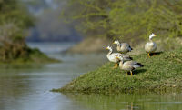 Bar-headed geese, Anser indicus, Bharatpur, Rajasthan, India