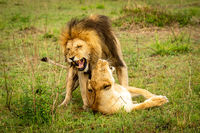 Male lion bares teeth mating in grass