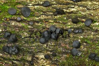 Gemeine Schmutzbecherling, Bulgaria inquinans, bachelor's button