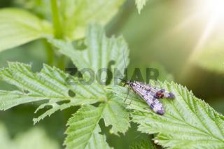 Scorpion Fly (Panorpa communis)