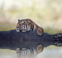 Bengal tiger resting on a rock near water