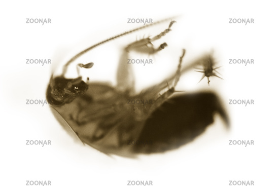 Forest cockroach (wild) from the black sea mountains