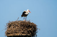White stork on nest made of twigs