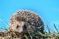 Hedgehog in the spring grass