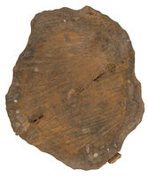 Sawn trunk with wood texture on white background.