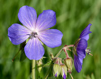 Wiesenstorchschnabel, Geranium, pratense