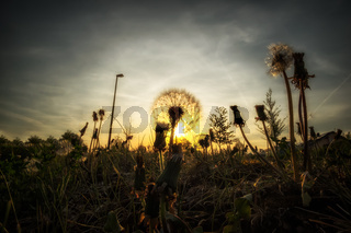 Image of a dandelion with backlight