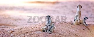 Erdmaennchenfamilie, Kgalagadi-Transfrontier-Nationalpark, Südafrika, (Suricata suricatta)   Family of Meerkats, Kgalagadi Transfrontier National Park, South Africa, (Suricata suricatta)