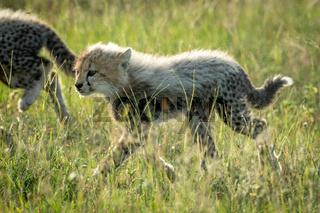 Backlit cheetah cub crosses grassland with sibling