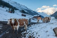 Cows in the first snow