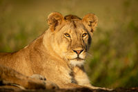 Lioness lies staring on rock in sunshine
