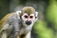 squirrel monkey in south america