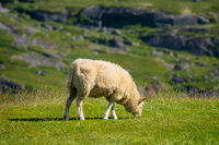 Schaf auf der Weide auf den Lofoten in Norwegen