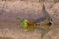 Yacare Caiman, Caiman Crocodilus Yacare Jacare, Cuiaba river, Pantanal, Porto Jofre, Mato Grosso, Brazil