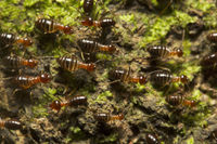 Ant, Trishna, Tripura , India