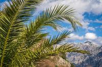 Tropical palm growing in Kotor Bay