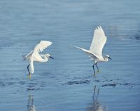 Snowy Egrets in flight over lake
