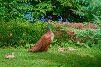 Peahen with Nestlings