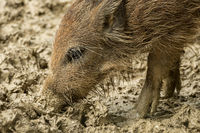 A boar is looking for food in the wet mud