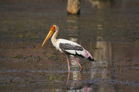 Painted Stork, Mycteria leucocephala. Ranthambhore Tiger Reserve, Rajasthan, India