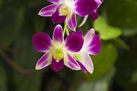 Dendrobium orchid, Dendrobium, Jurong bird park, Singapore.