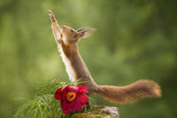 red squirrel reaches up with an peony