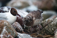 Black-headed gulls feed their Chicks