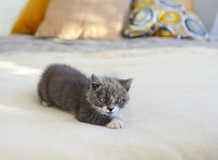 Cute little British shorthair kitten